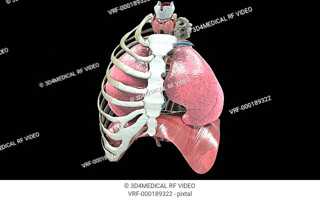 A pan from right to left of the respiratory system within half of the ribcage, which fades to an X-ray view and back again as the camera pans back from left to...