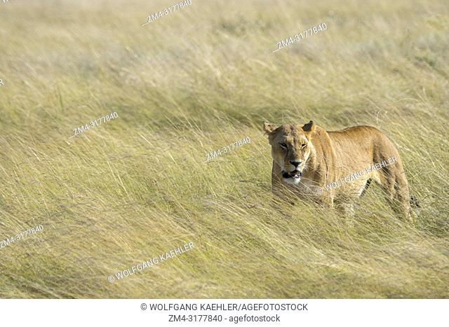 A lioness (Panthera leo) is walking through the high grass in the grassland of the Masai Mara National Reserve in Kenya