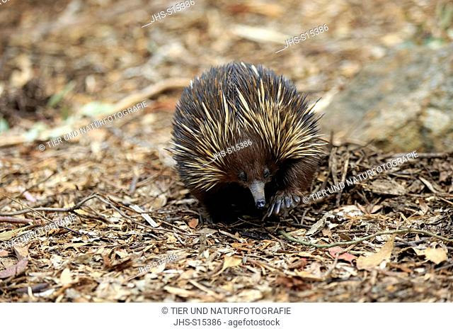 Short beaked Echidna, (Tachyglossus aculeatus), adult searching for food, South Australia, Australia