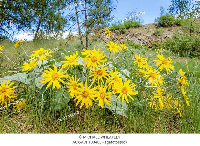 Arrowleaf Balsamroot flowers, Balsamorhiza sagittata, Kalamalka Provincial Park, Greater Vernon, Okanagan Valley, British Columbia, Canada