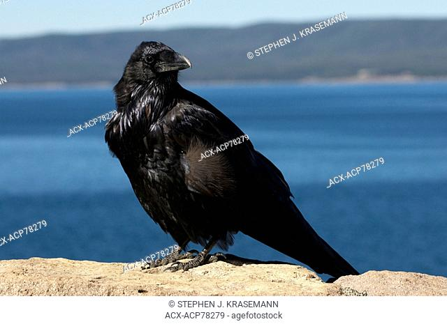 Common Raven perched on rock with lake in the background. (Corvus corax), Yellowstone Nat'l Park, WY, USA