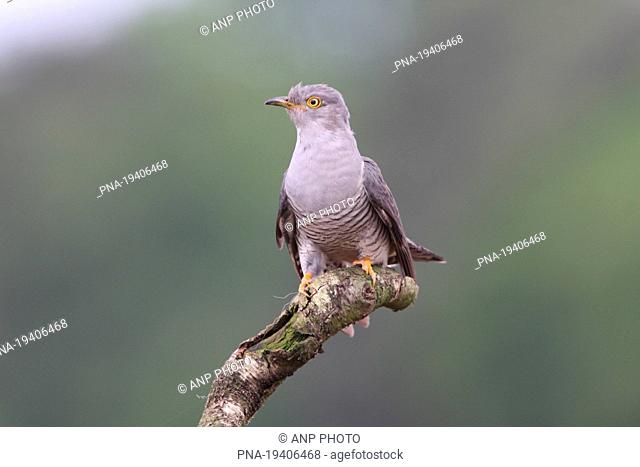 Common Cuckoo Cuculus canorus - Wierdense veld, Nijverdal, Twente, Overijssel, The Netherlands, Holland, Europe