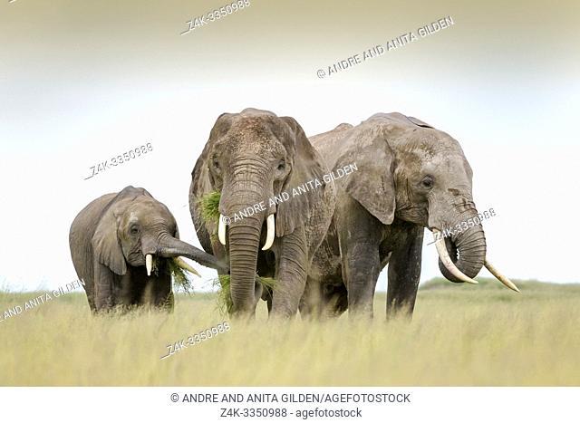 African elephant (Loxodonta africana) mother with calf feeding on grass, Amboseli national park, Kenya