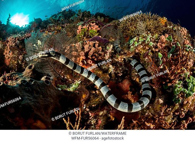 Venomous Banded Sea Krait, Laticauda colubrina, Pantar, Alor Archipelago, Lesser Sunda Islands, Indonesia