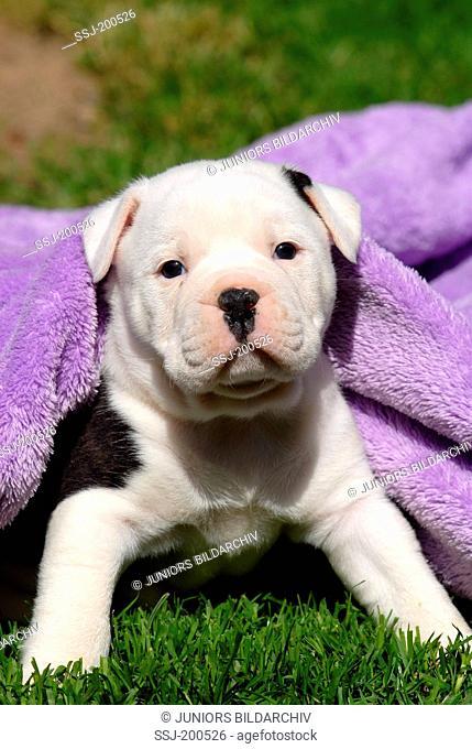 Old English Bulldog. Puppy under a purple blanket on a lawn. Germany