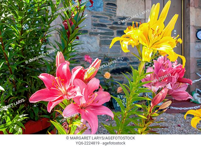Beautiful hemerocallis, Daylily, yellow and red lilies, in front of a house