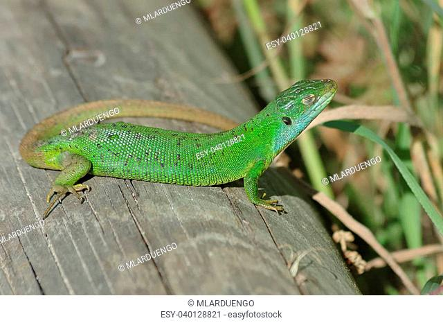 Green lizard (Lacerta bilineata) sunning itself on a timber