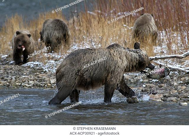 Grizzly Bear Mother with Chum Salmon and 1st Year Cubs Ursus arctos on Fishing Branch River, Ni'iinlii Njik Ecological Reserve, Yukon Territory, Canada