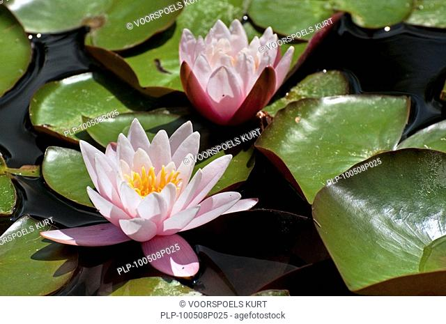 Waterlily / Water Lilies Nymphaea sp. in pond, Europe