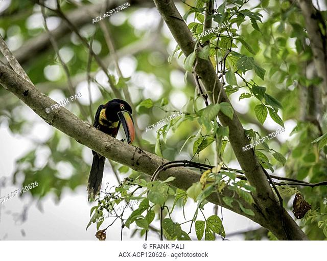 The fiery-billed aracari or fiery-billed araçari is a toucan, a near-passerine bird. It breeds only on the Pacific slopes of southern Costa Rica and western...