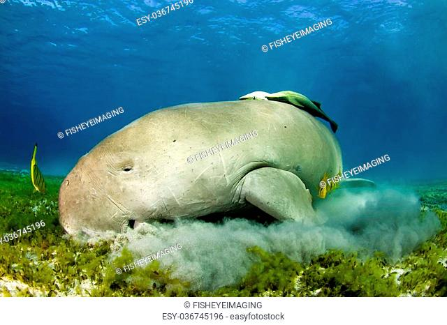 dugong eating sea grass in red sea