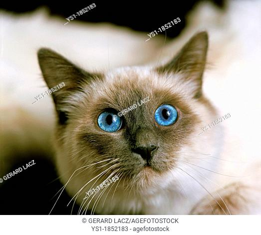 Birmanese Domestic Cat, Portrait of Adult with Blue Eyes