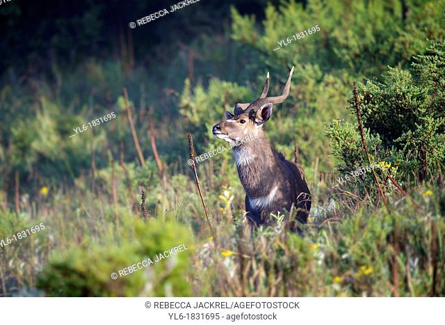 A male mountain nyala in the Bale Mountains National Park