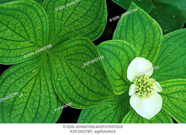 Bunchberry (Cornus canadensis), Greater Sudbury, Ontario, Canada