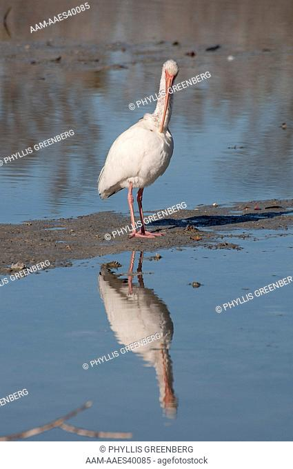White Ibis (Eudocimus albus ) Preening, Fort Myers Beach, Fl.  2011 Digital