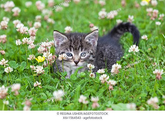 Kitten, siting on garden lawn amongst clover, Lower Saxony, Germany