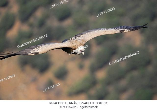 Griffon vulture. Gyps fulvus
