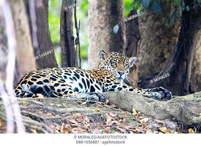 Brazil, Mato Grosso, Pantanal area, jaguar Panthera onca