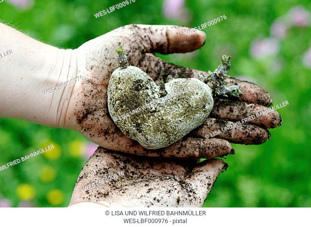 Woman's hands holding heart shaped potao
