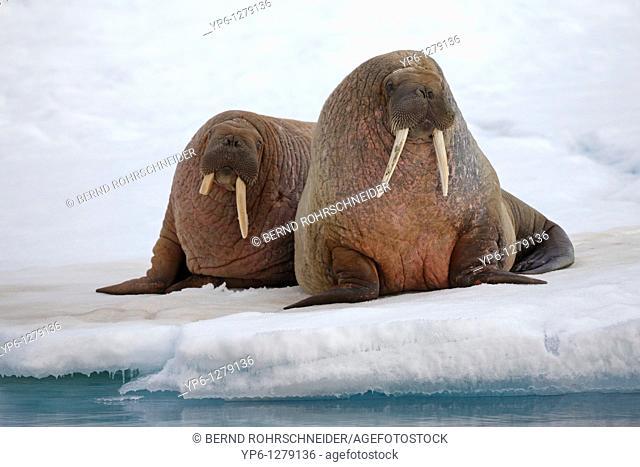 two Walruses, Odobenus rosmarus, resting on ice floe, Spitsbergen, Svalbard