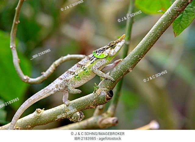 Malthe Chameleon (Calumma malthe), male, foraging, Madagascar, Africa