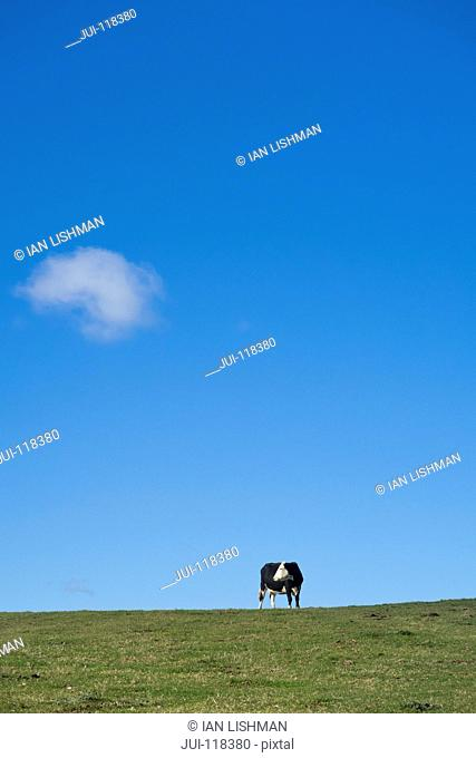 Single Fresian Cow Grazing On Farm Against Blue Summer Sky