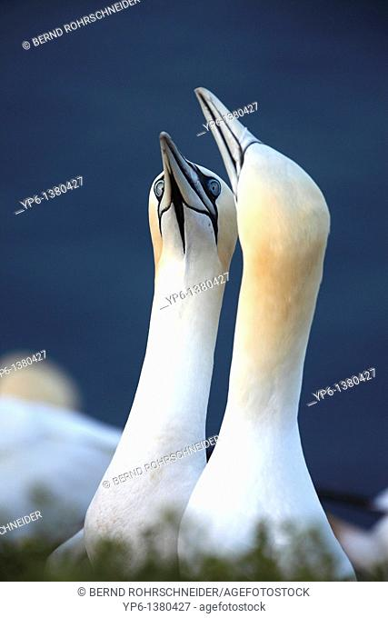 Northern Gannets, Morus bassanus, portrait of a displaying pair, Heligoland, Germany