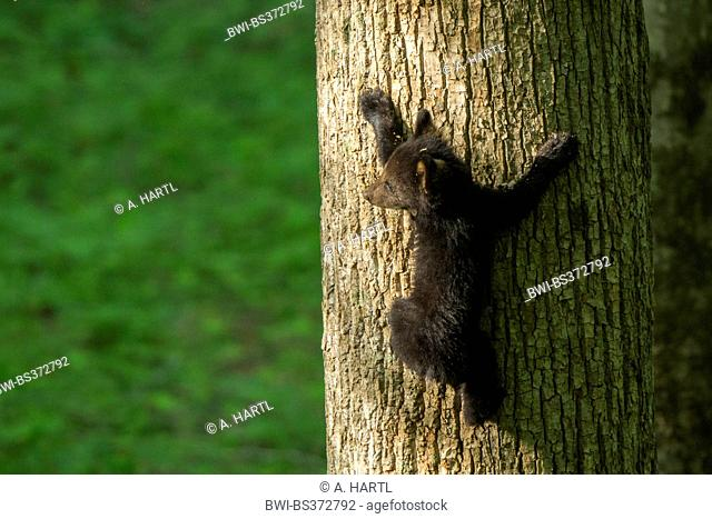 American black bear (Ursus americanus), little bear cub climbing up at a thick tree trunk, USA, Tennessee, Great Smoky Mountains National Park