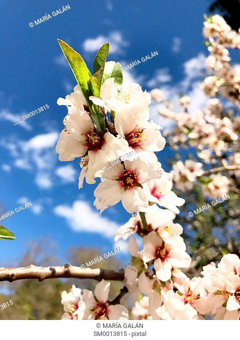 Flowered almond tree, close view