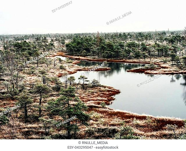 Pine Trees in Field of Kemeri moor in Latvia with a Pond inbetween of them on a Cold Winter Morning with some Frost on them