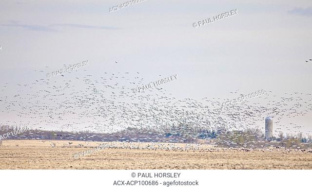 Large flock of Snow Geese flying over farm in rural Alberta, Canada