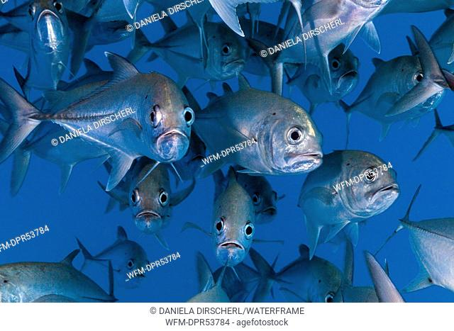 Shoal of Bigeye Trevally, Caranx sexfasciatus, Cod Hole, Great Barrier Reef, Australia