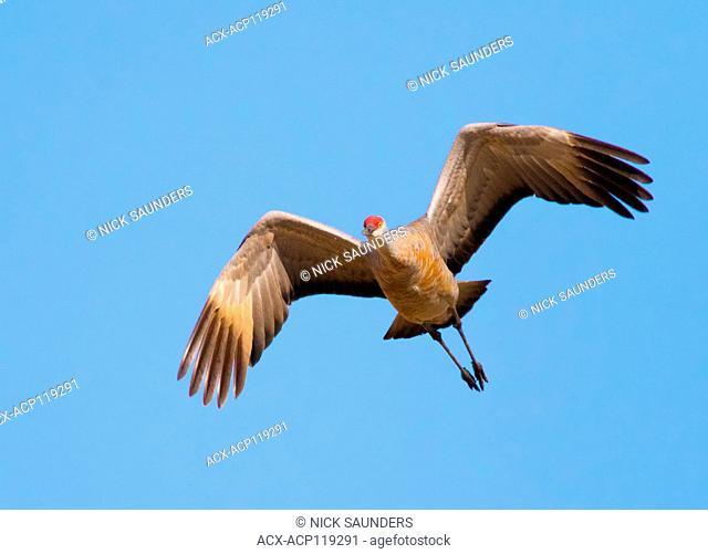A Sandhill Crane, Grus canadensis, flying over a field, near Saskatoon Saskatchewan