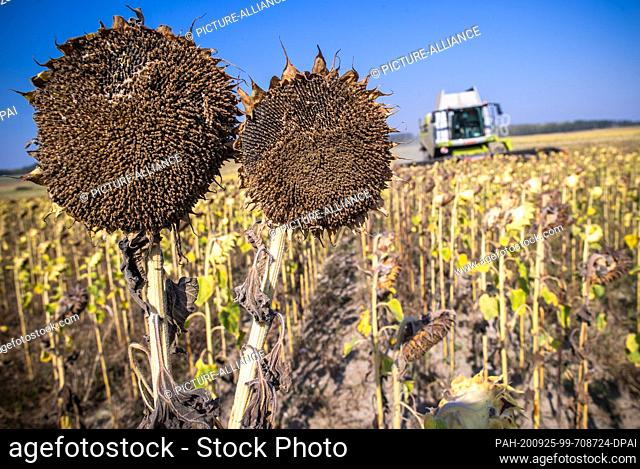 22 September 2020, Mecklenburg-Western Pomerania, Linstow: A combine harvests ripe sunflowers in a field for fodder production