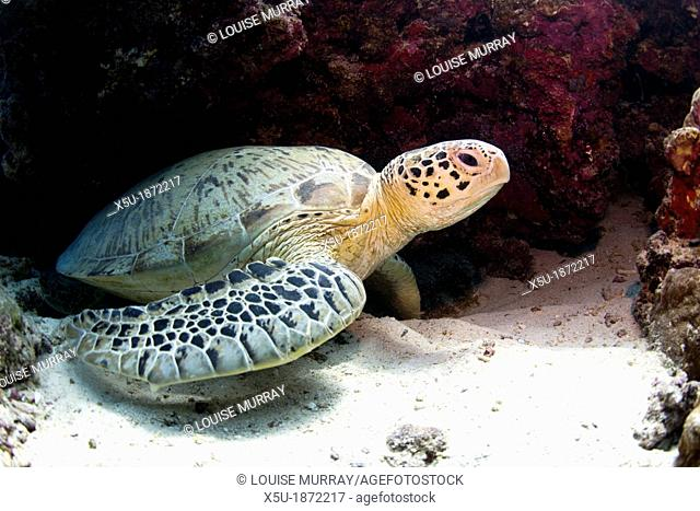 Green sea turtles - Chelonia mydas are very common around Pom Pom Island  The islands of the Celebes Sea are important nesting grounds for these marine turtles