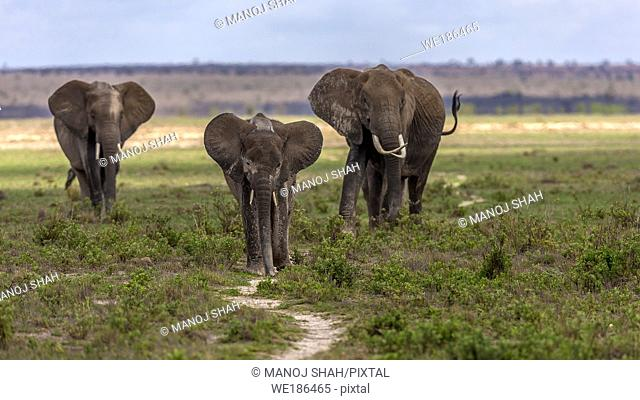 African Elephant herd walking to the marsh in Amboselli National Park