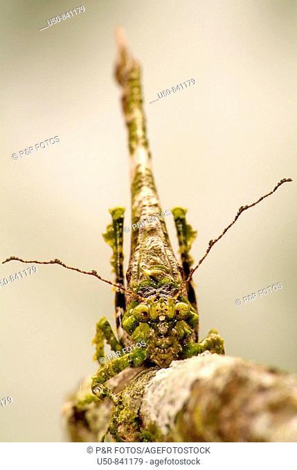 Frontal view of a False katydid that looks like a lichen on leaf, Orthoptera, Tettigoniidae, Phaneropterinae, Brazil