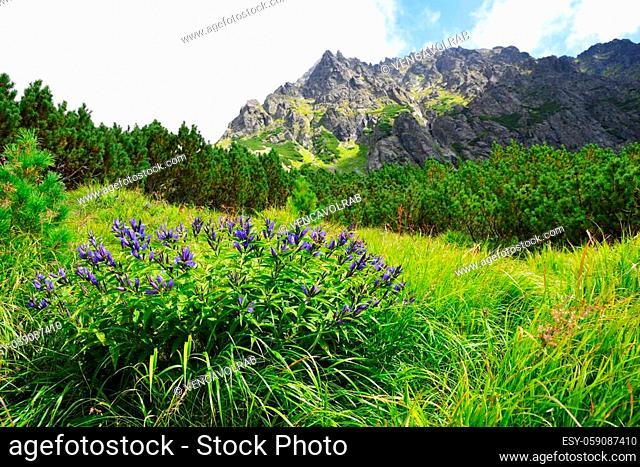 Flowers willow gentian (Gentiana asclepiadea) in Mengusovska Valley, Vysoke Tatry (High Tatras), Slovakia. Summer mountain landscape in sunny day