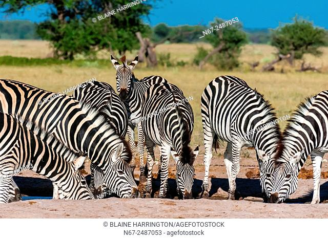 A herd of zebras at a watering hole, Nxai Pan National Park, Botswana