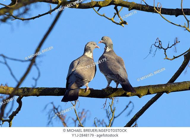 Woodpigeon, Columba palumbus, Hesse, Germany, Europe