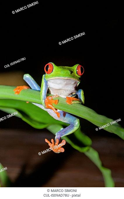 Red-eyed tree frog (Agalychnis Callidryas) holding onto stem, Costa Rica