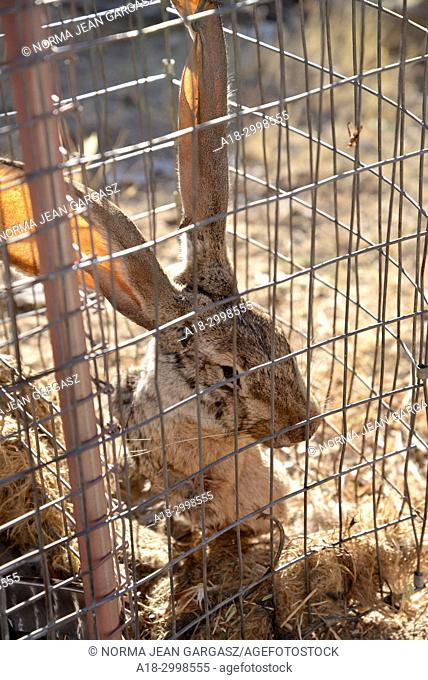 Traps baited with harvested jackrabbits, feathers, scent, sound and other means are set by fur trappers for live catch of animals such as coyote, fox