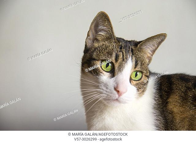 Tabby and white cat. Close view