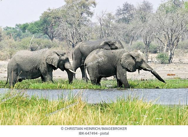 African Elephants (Loxodonta africana) eat and drink, Moremi Nationalpark, Moremi Wildlife Reserve, Khwai River, Okavango Delta, Botswana, Africa