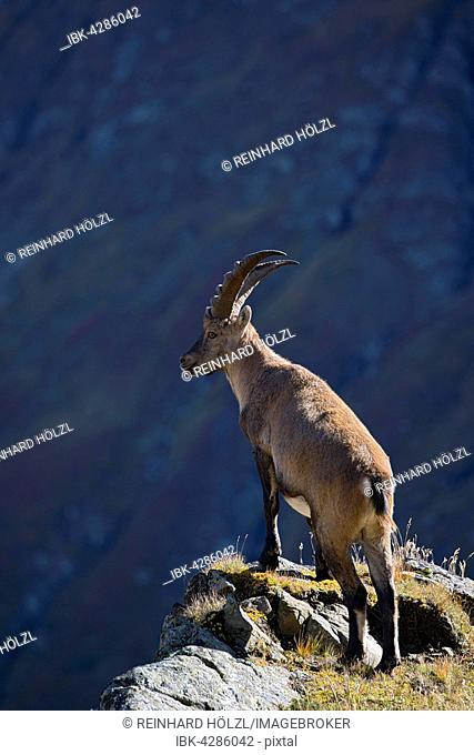 Alpine ibex (Capra ibex), male standing on cliff edge, Kaiser-Franz-Josefs-Höhe, High Tauern National Park, Carinthia, Austria