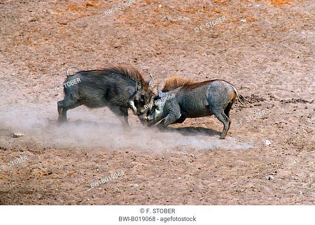 Cape warthog, Somali warthog, desert warthog (Phacochoerus aethiopicus), fighting, Namibia, Etosha National Park