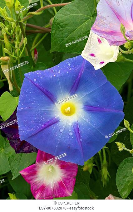 Assorted Morning Glories Wet
