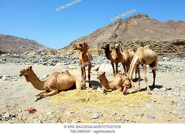 Caravan dromedary camels (Camelus dromedarius) at a rest point near the river of the Saba canyon on the way from the salt mine of lake Assale to the Mekele...