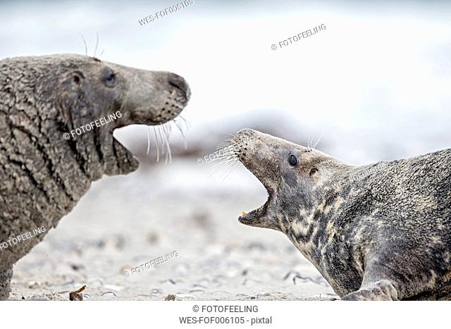 Germany, Helgoland, Grey Seals (Halichoerus grypus)