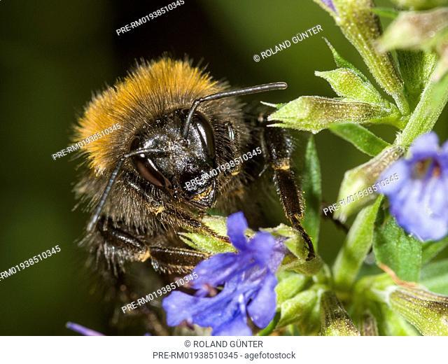 Tree bumblebee (Bombus hypnorum) on hairless catmint (Nepeta nuda) / Baumhummel (Bombus hypnorum) auf Kahler Katzenminze (Nepeta nuda)